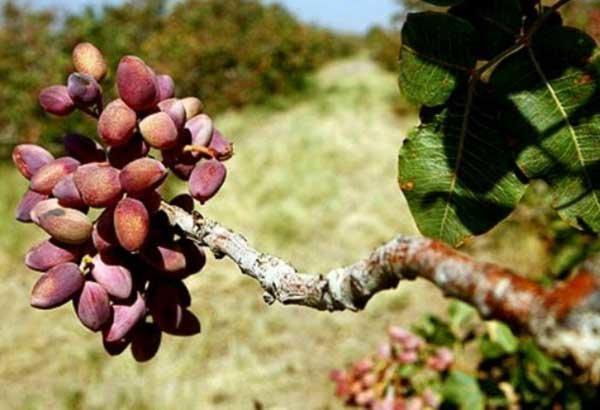 پیش بینی کاهش 70 درصدی برداشت پسته از باغات آیسک