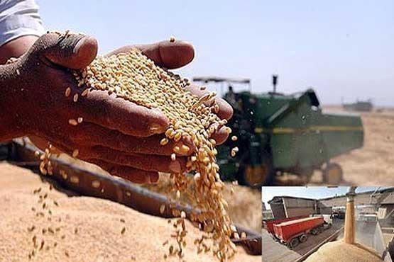 افزایش نرخ خرید تضمینی گندم با تصمیم دولت در سال زراعی جاری
