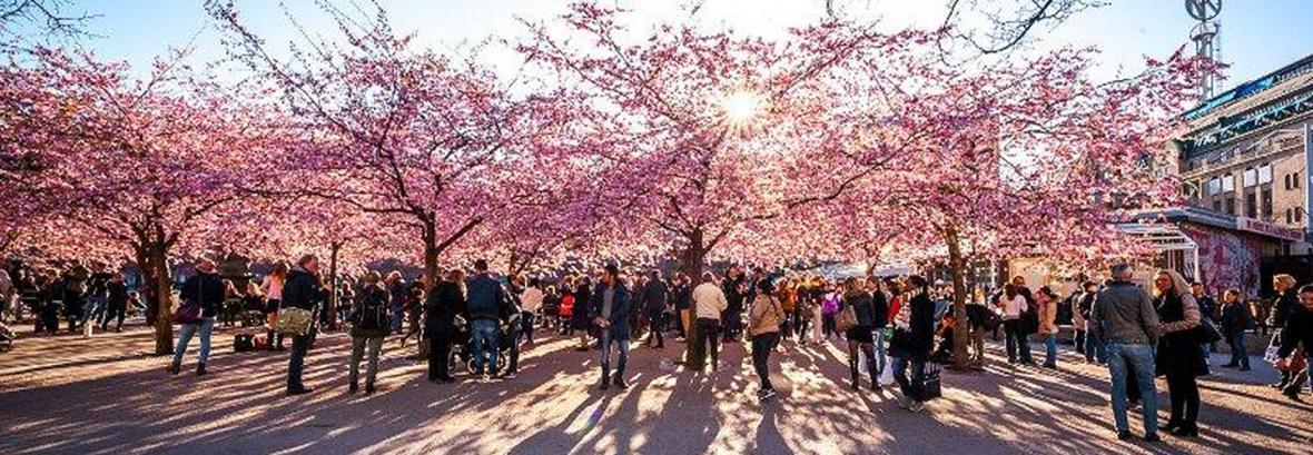 فیلم ، هجوم گردشگران برای شکوفه های گیلاس و دریای رنگی در چین