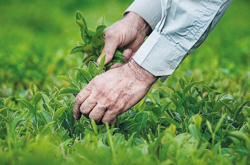 برداشت چین اول برگ سبز چای از ابتدای اردیبهشت