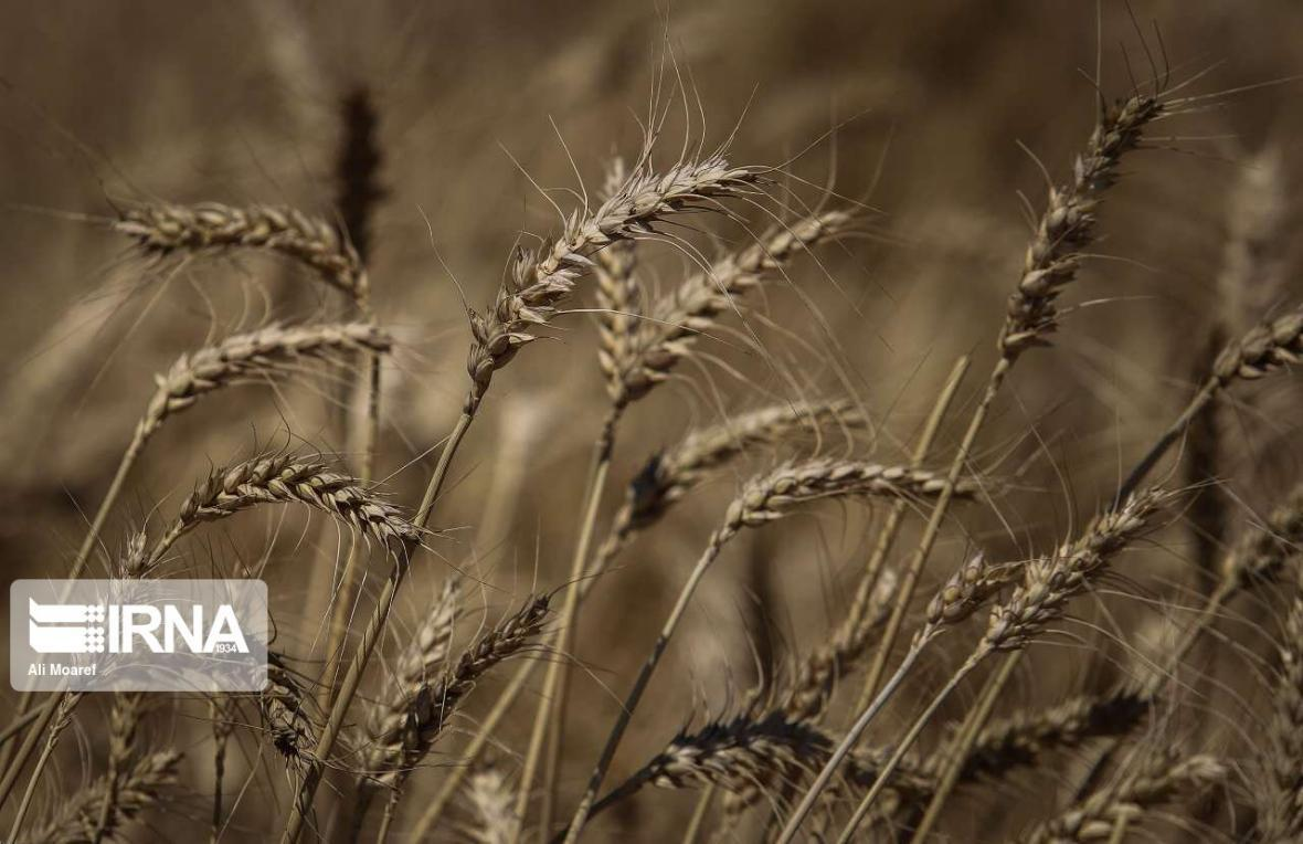خبرنگاران آمادگی دولت برای خرید 520 هزار تن گندم از کشاورزان همدانی