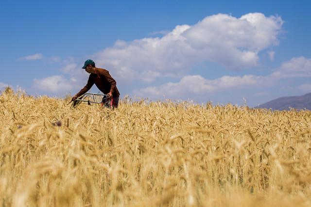 قیمت خرید تضمینی گندم دوشنبه در شورای اقتصاد بررسی می شود، نظر دولت روی 3800 تومان است